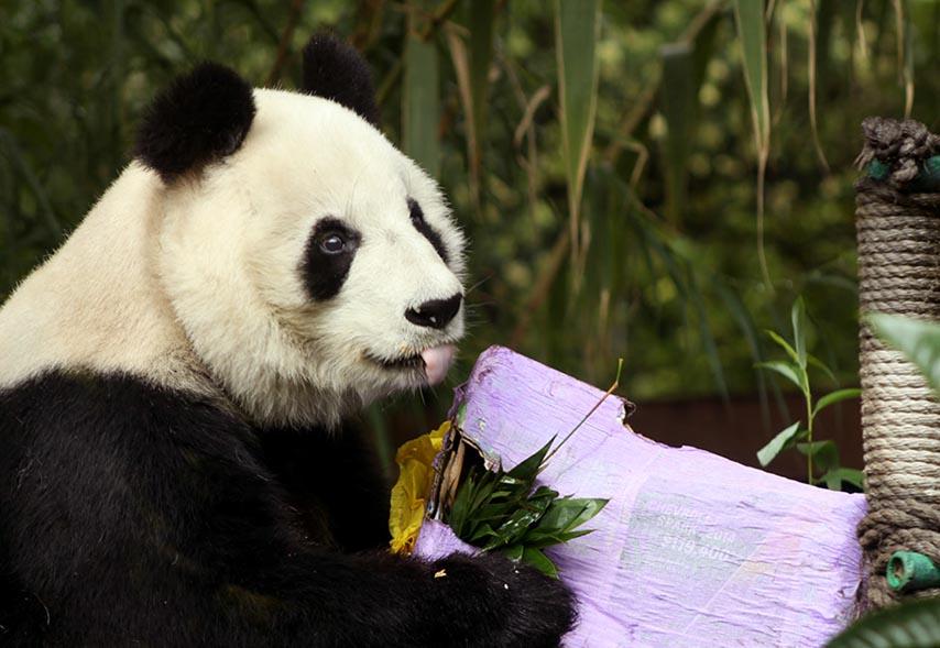 Photo of Los últimos pandas gigantes en México