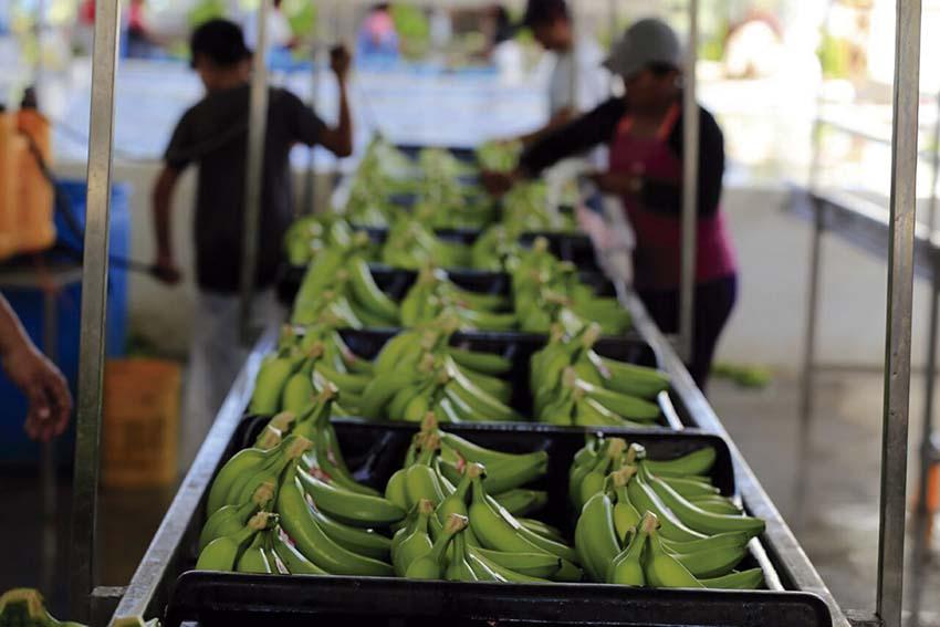 Photo of Se inauguraron cuatro empaques de plátano en Cihuatlán
